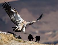 Giants Castle vulture hide