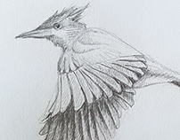 Pencil sketch - Asian paradise flycatcher