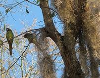 Parrots, Live Oak, Spanish Moss