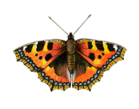 Coloured pencil illustrations – butterflies and moths