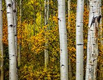 Colorful Colorado, Aspens