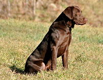 Labrador Retriever Is America's Most Popular Dog Breed