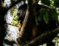 Argentina, Ibara, Howling monkeys