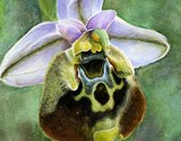 Cretan Orchid Ophrys Episcopalis