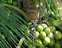 cara menanam kelapa hibrida