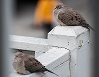 Nature: Doves