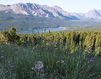 Wild Flowers in Montana