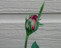 rose time-lapse
