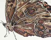 Natural History Illustration - Butterflies