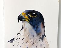 Portrait of the Peregrine falcon