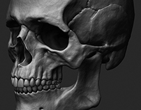 Skull - Anatomy Study