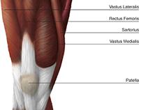 Anterior Thigh Diagram