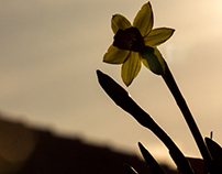Narcissus - Lily