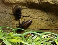 Madagascar Hissing Cockroach Exhibit