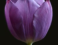 Single Tulips