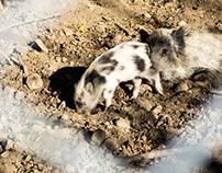 Wild pigs behind the fense