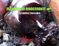 Escarabajo Rinoceronte (Dynastes hercules)