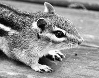 Wildlife Photography: Chipmunk