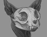 Anatomic Study - Sphynx cat's Skull