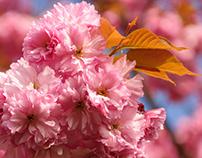 Botanical photo of cherry blossom
