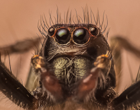 Jumping Spiders Macro Photography