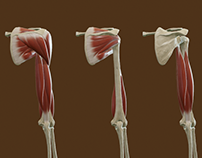 Muscles and Bones of the Upper Arm and the Shoulder