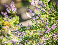 Botanical photo of heather