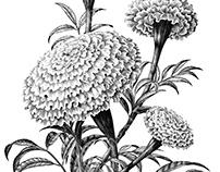 Marigold flower hand draw vintage style