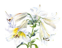 Watercolor illustration: White Lily.