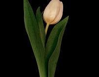 Tulip on black 3