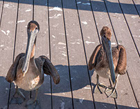Pelican Page