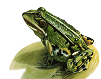 Edible frog - Scientific illustration