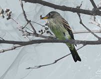 Eastern Wood Pewee enmeshed with bug, Central Park 10/2