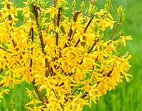 Botanical photo of forsythia