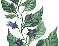 Herbarium Project - Herbs Illustrations