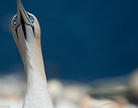 Gannets / Fous de bassan