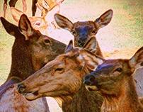 Many Elk