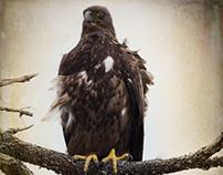 Juvenile Eagle on Windy Day