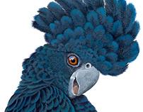 Black Cockatoo - SOLD