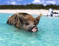 Bahama Pigs - Staniel Cay