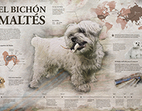 Infografía Bichón Maltés