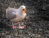 Seagull - GRD263