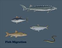 Information Design - Fish migration poster