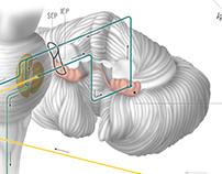 Functional Lobes of the Cerebellum