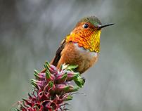 Hummingbirds: Natures Gladiators