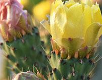 Palestinian yellow cactus flowers