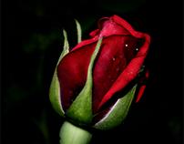 New May roses...
