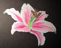 Illustration - Stargazer Lily