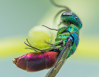 Photo Series: Nature / Case 15: The Ruby-Tailed Wasp