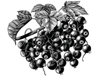 Fruit vintage engraving illustration